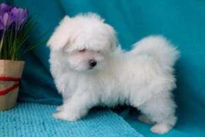 Объявление №37705 : Продам: щенок мальтезе в Санкт-Петербурге